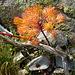 Kleiner Herbstbote am Wegrand: verblühter, aber noch feurig leuchtender Triglav-Enzian