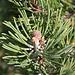 <b>Pinus mugo.</b>