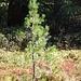 Dem God Tamangur geht es gut: viel Jungholz ist vorhanden, den Tannenhähern sei Dank!