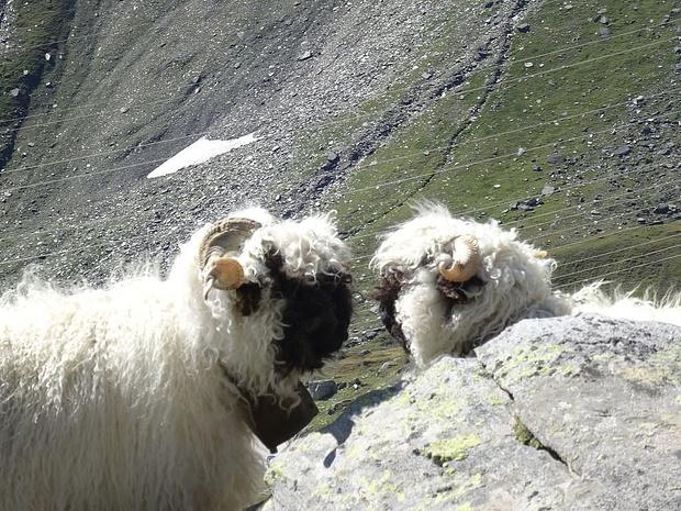 Schaf-Flirt: hochspannende Zweisamkeit, bitte nicht stören!