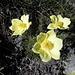 Knallgelb Blumeli aka. Gelbe Alpen - Küchenschelle