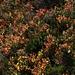 Die Heidelbeersträuche im Herbstgewand