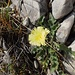 A kind of hawkweed
