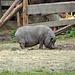 Glückliches Hängebauchschwein