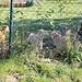 Giftig kläffende Meute, gut dass sie ein Zaun geschützt hat...