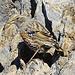 Eine Alpenbraunelle an den Felswänden der Hängeten