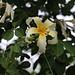 Blüte vom Florettseidenbaum (Ceiba speciosa oder Chorosia speciosa).