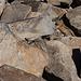 Gipfel-Streifenhörnchen