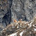 Die Hirsche mit ihren mächtigen Geweihen im Abstieg vom Grat