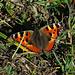 Kleiner Fuchs (Aglais urticae), letzter Schmetterling im Herbst 2015? / Ultima farfalla nell`autunno 2015?