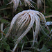 Die Samen der Silberwurz mit Eis / i semi della Dryas octopetala con ghiaccio