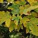 Herbstfarben. <br /><br />Berg-Ahorn (Acer pseudoplatanus).