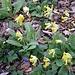 Ehrezeieli oder Frühlingsschlüsselblume