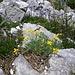 Blumengeschmückter Wandfluehgrat