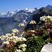 Saxifraga paniculata / Alpes bernoises