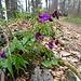 Frühlings-Platterbse am Wegrand
