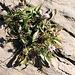 Scabiosa lucida Vill. Caprifoliaceae (incl. Dipsacaceae)  Vedovina alpestre. Scabieuse luisante. Glänzende Skabiose.