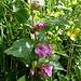Immenblatt, Waldmelisse (Melittis melissophylum)