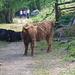 Wie gelangt man auf die andere Seite?? Und wer kennt diese Rasse?? - Update: Schottische Hochland Rinder (danke [u Margit]!)