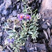 Linaria alpina (L.) Mill. s.str. Plantaginaceae (incl. Scrophulariaceae)  Linaiola alpina. Linaire des Alpes. Alpen-Leinkraut.