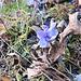 Gentiana ciliata L. Gentianaceae  Genziana sfrangiata. Gentiane ciliée. Gefranster Enzian.