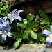 Toujours aussi belles: les Campanules du Mont-Cenis (Campanula cenisia)