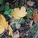 ... mit schönen, herbstlich gefärbten, Blättern