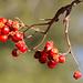 Vogelbeeren (Sorbus aucuparia)