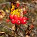 Beeren der Zwergmispel 1 (Sorbus chamaemespilus)