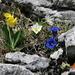 Threesome: Flühblümchen (Primula auricula), Weisse Alpen-Anemone (Pulsatilla alpina), Clusius' Enzian (Gentiana clusii)
