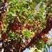 Strassenbäume des Südens in Θεσσαλονίκη (Thessaloníki):<br /><br />Gewöhnliche Judasbaum (Cercis siliquastrum), ein typischer Vertreter der heimischen Mittelmeerbäume. Er kommt allerdings auch mit dem Wetter Mitteleuropas gut zurecht.