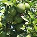 Strassenbäume des Südens in Θεσσαλονίκη (Thessaloníki):<br /><br />Hier wachsen sogar Zitrusfrüchte mitten in der Stadt. Meist handelt es um Orangenbäume oder wie auf dem Foto um Bäume der Pomeranze (Citrus aurantium).