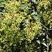 Strassenbäume des Südens in Θεσσαλονίκη (Thessaloníki):<br /><br />Peruanische Pfefferbaum (Schinus molle).