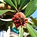 Strassenbäume des Südens in Θεσσαλονίκη (Thessaloníki):<br /><br />Fruchtstand der immergrünen Magnolie (Magnolia grandiflora). Der Baum stammt ursprünglich aus den Südosten der USA.