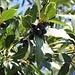 Strassenbäume des Südens in Θεσσαλονίκη (Thessaloníki):<br /><br />Echter Lorbeer (Laurus nobilis) mit Früchten.