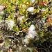Kraut-Weide (Salix herbacea)