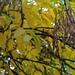 Manna-Esche (Fraxinus ornus) mit Früchten im grossen Park von Битола (Bitola; 576m). Der Baum kommt natürlich im östlichen Mittelmeergebiet vor und wird in Südeuropa und dem südlichen Mitteleuropa als Zier- und Strassenbaum angepflanzt.<br /><br />Anmerkung: Die Aufnahnezeit ist noch in OESZ, für die lokale MESZ also eine Stunde früher.