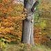 Alte Eiche; man kriegt sie leider nicht ganz auf's Bild, da sonst wieder andere Bäume im Weg wären.