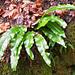 Häufig an schattigen Stellen in Jurawäldern: Hirschzunge (Phyllitis scolopendrium)