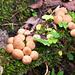 Nach den Regenfällen wachsen die Pilze: Stäublinge auf moderndem Holz