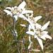 Edelweiss! Das erste Mal, das ich diese wunderbaren Alpenblumen in den Voralpen sehe