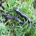 Alpensalamander (Salamandra atra) - Paarung oder Kampf?