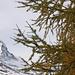 Hinter dem Lärchenvorhang blitzt das Matterhorn hervor