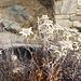 Auch in den Blumenkästen in Findeln sind die Edelweiss verblüht
