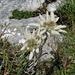 Edelweiss im Aufsteig zum Ochsenchopf