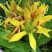 Gros plan sur une fleur de gentiane jaune (Gentiana lutea)