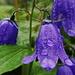 Campanules sous la pluie