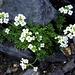 Pritzelago alpina (Cresson des chamois)