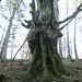 Monsterbaum im oberen Teil des Abstiegs nach Fläsch
