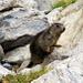 Marmotton peu farouche